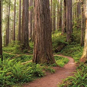 Redwood Trees Canvas Prints