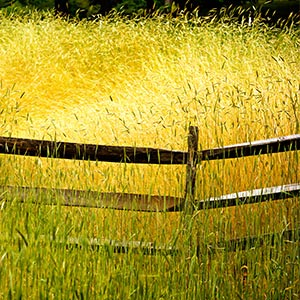 Fields, Grasslands & Meadows Canvas Prints