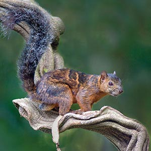 Squirrels Canvas Art
