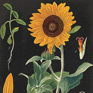 Sunflowers Art Prints