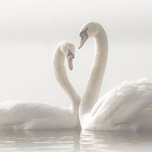 Swans Canvas Prints
