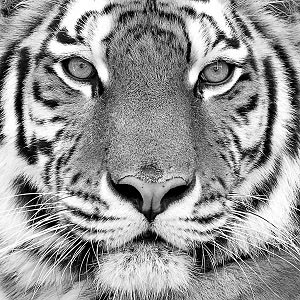 Tigers Art Prints