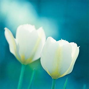 Tulips Canvas Wall Art